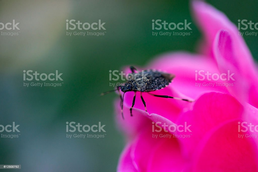 Beetle on a pink flower stock photo