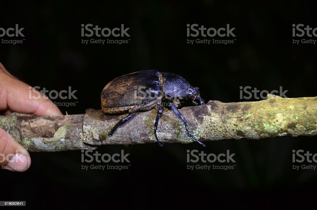 Beetle on a Stick royalty-free stock photo