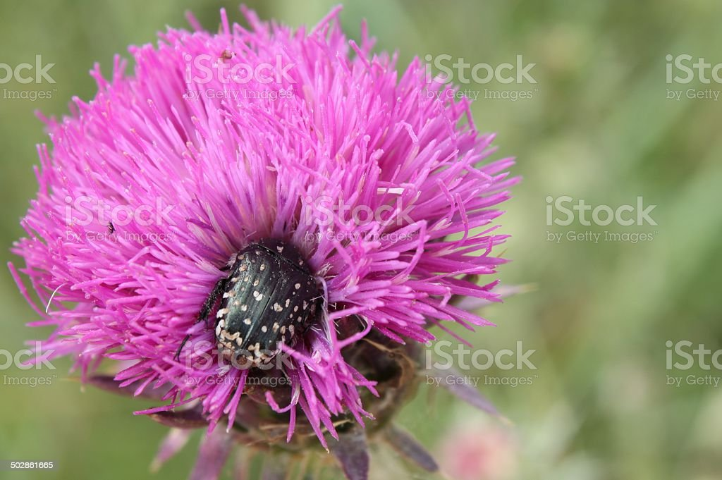 Beetle on a thistle royalty-free stock photo