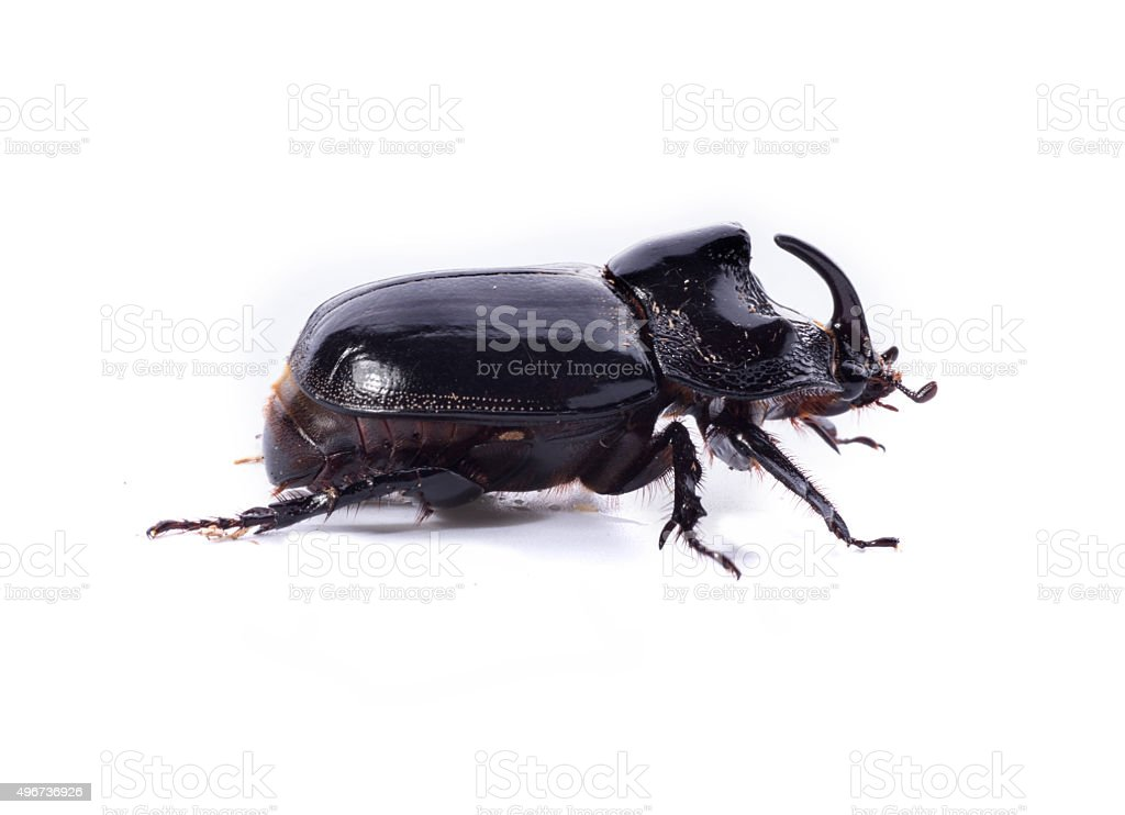 Beetle on a white background stock photo
