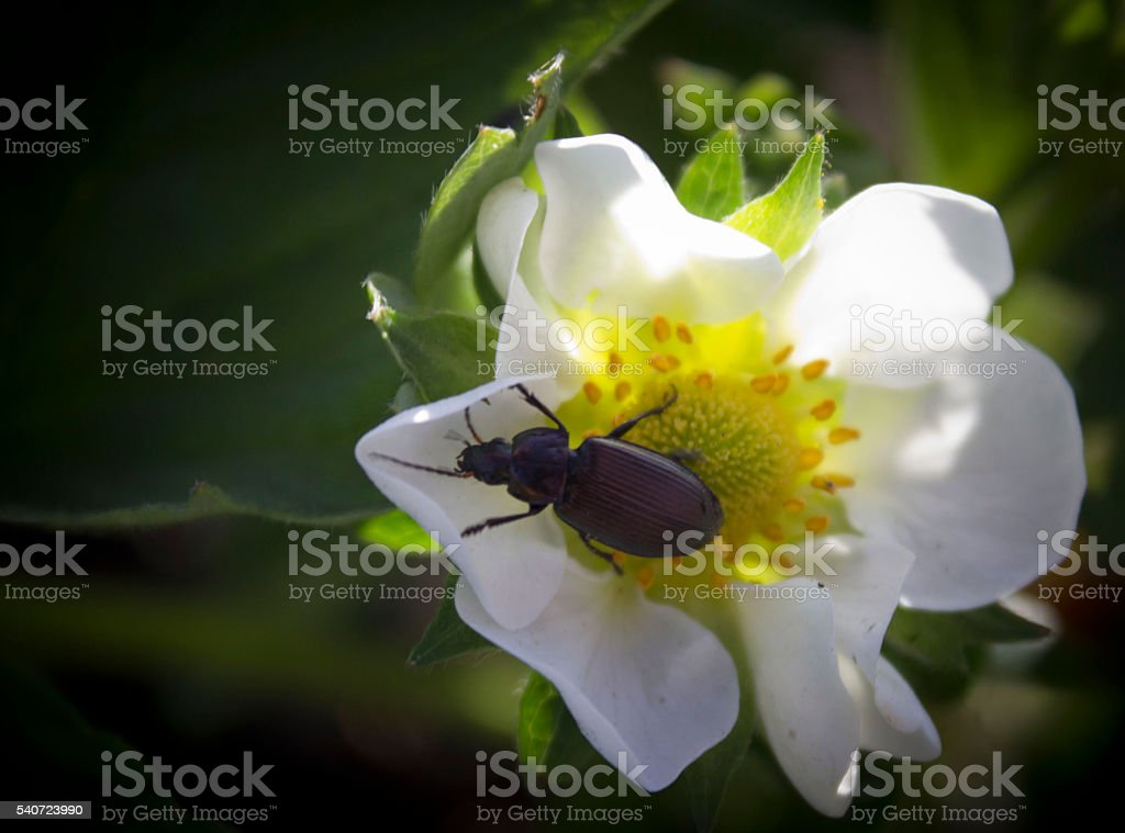 beetle on a white flower royalty-free stock photo