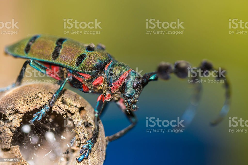 beetle (Diastocera wallichi tonkinensis) on nature background stock photo