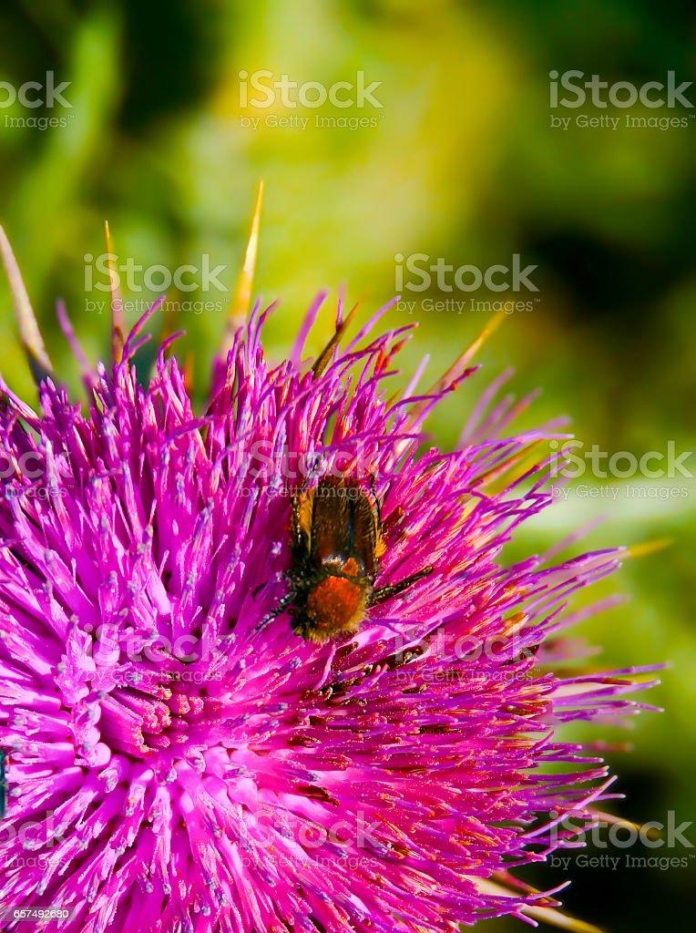 Beetle on purple wild plant blossom stock photo