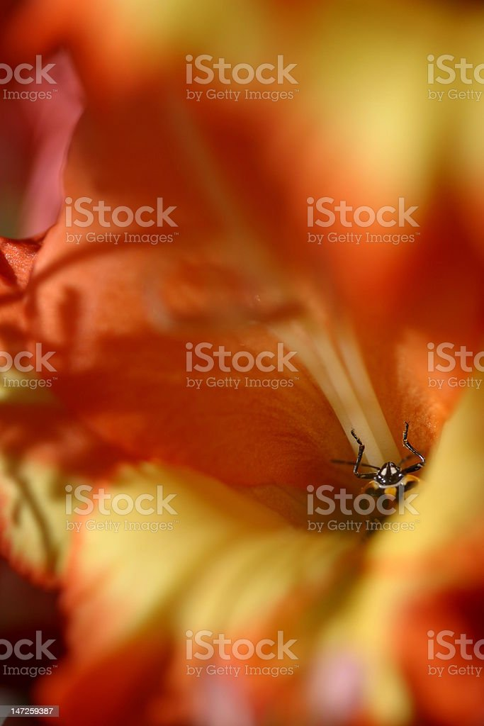 Beetle peeking out of flower center royalty-free stock photo