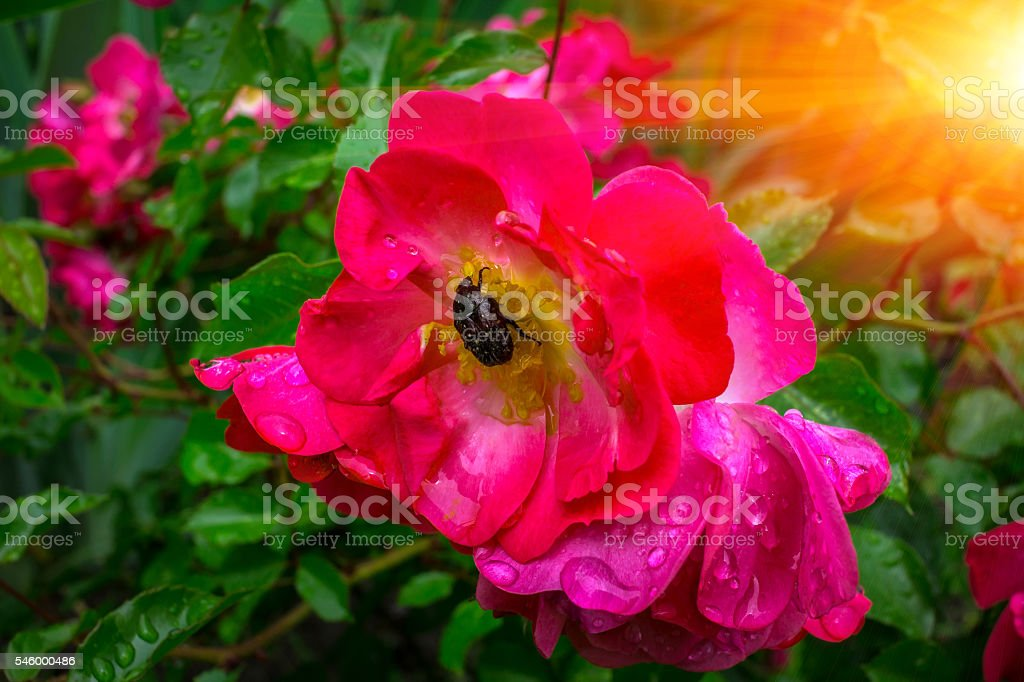 beetle pest eats pink rose in the dew at sunset. stock photo