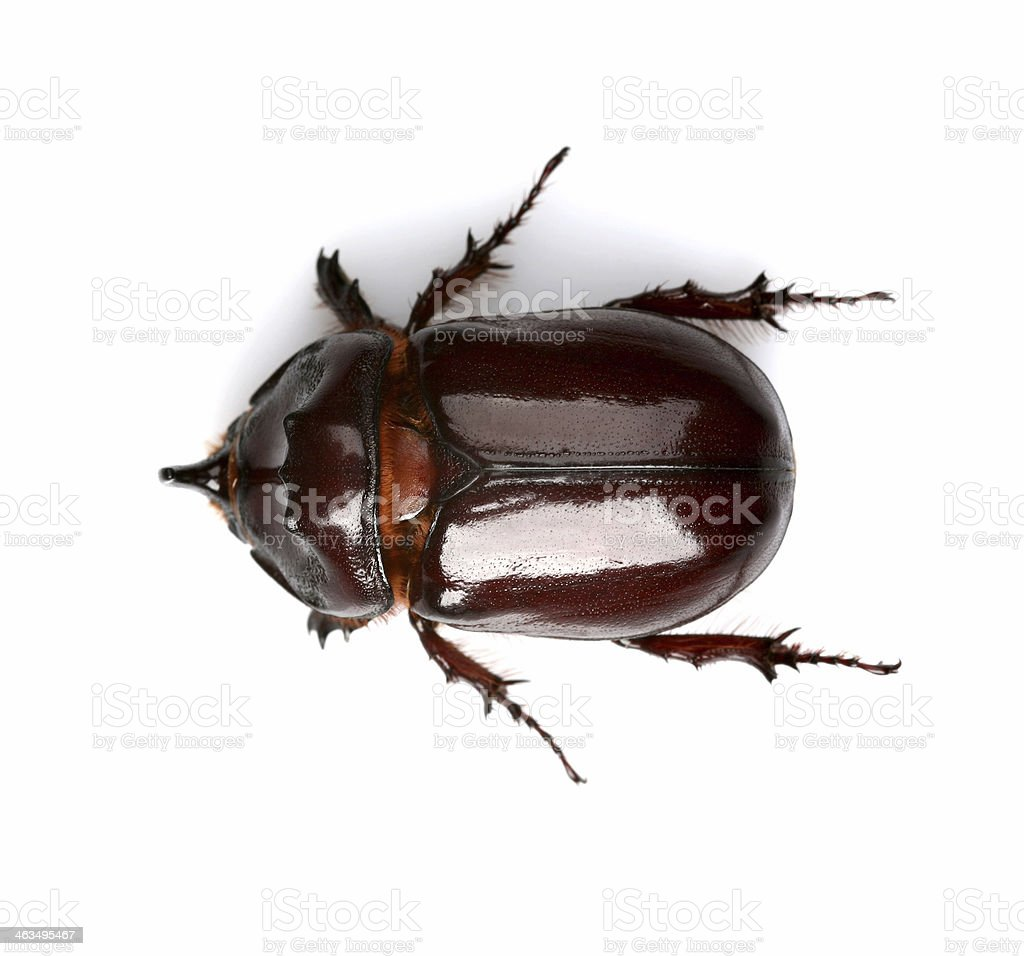beetle royalty-free stock photo