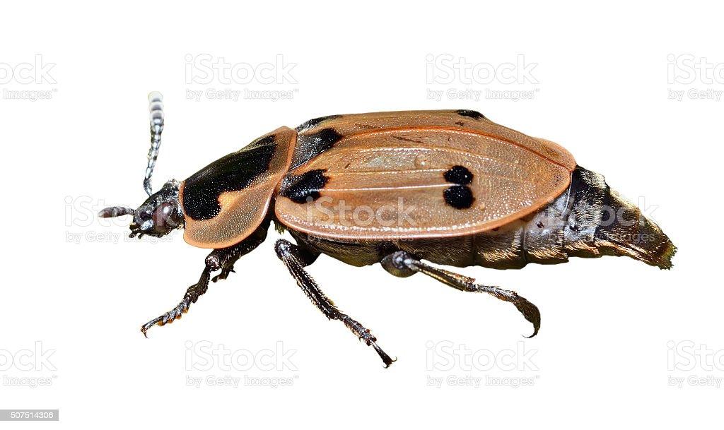 Beetle (Silphidae) stock photo