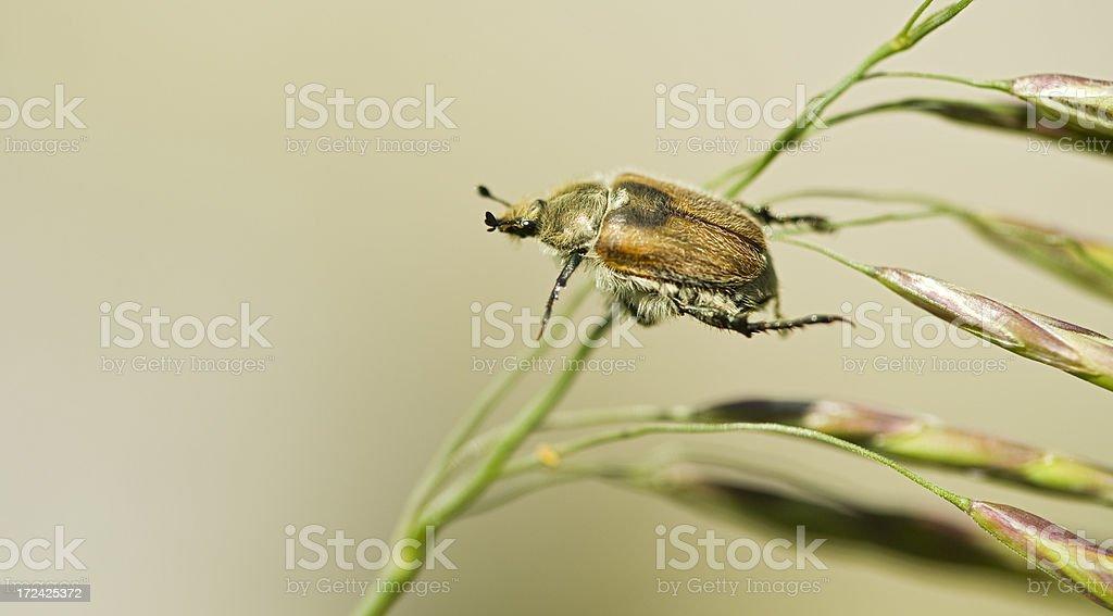 beetle promising royalty-free stock photo