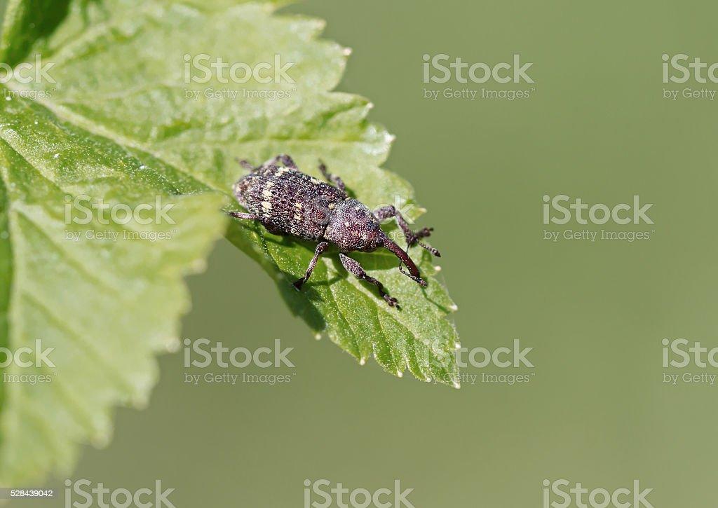 Beetle weevil stock photo