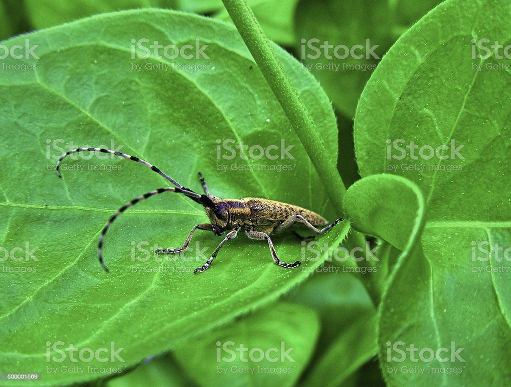 beetle with long antennae royalty-free stock photo