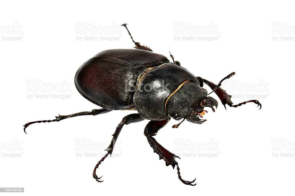 Beetle-1 royalty-free stock photo
