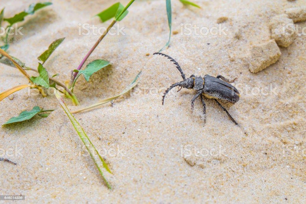 Beetle-barbel woodcutter stock photo