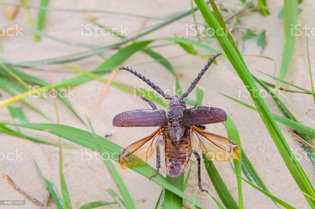 Beetle-barbel woodcutter with spread wings closeup stock photo