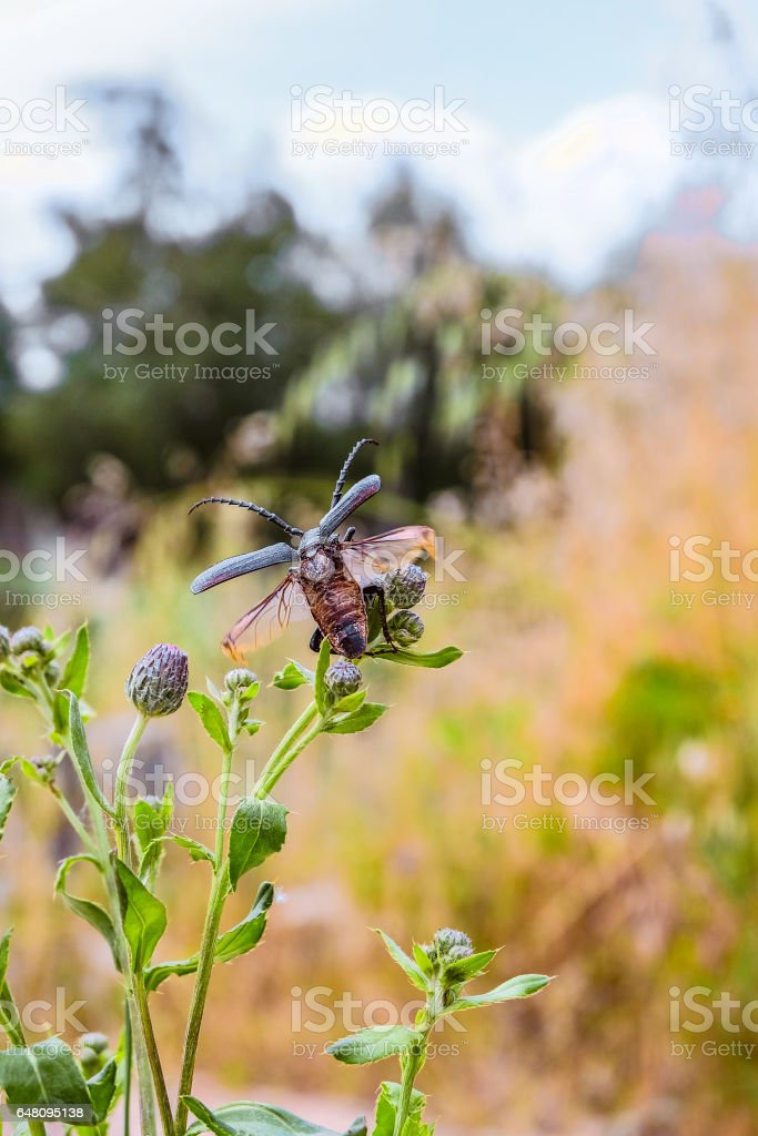 Beetle-barbel woodcutter with spread wings on a wild flower stock photo