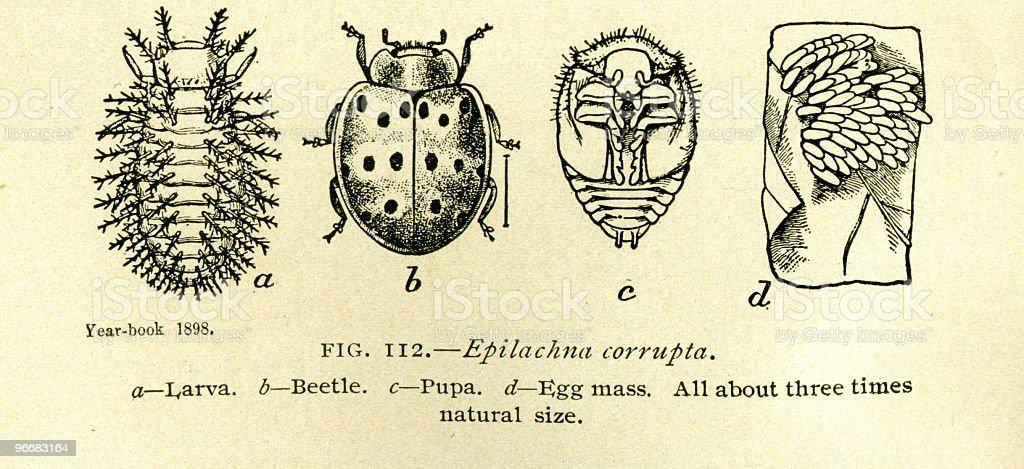 Beetles - antique book illustration royalty-free stock photo