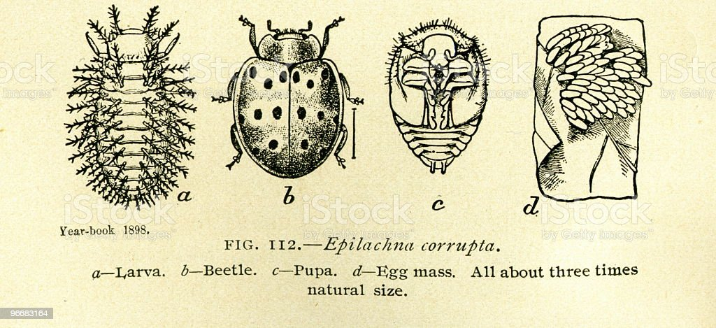 Beetles - antique book illustration stock photo