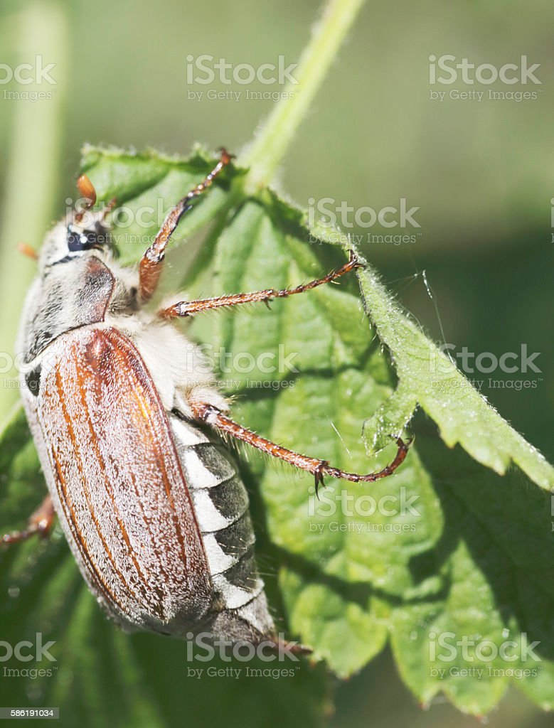Beetles: Cockchafer or May bug (Melolontha melolontha) stock photo