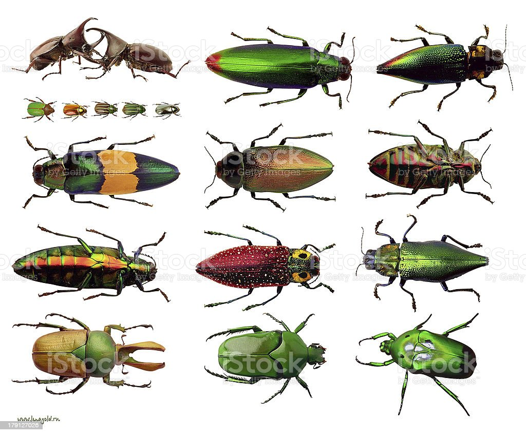 beetles collection isolated on a white background stock photo