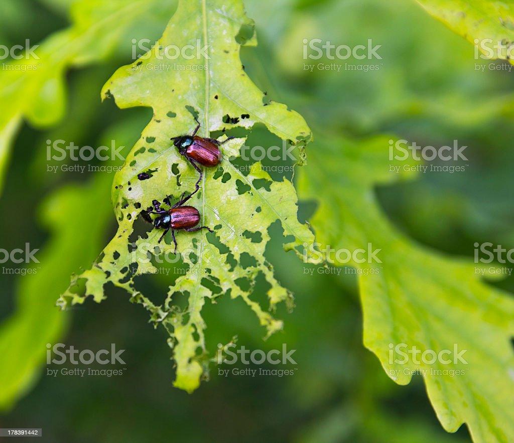 beetles eating oak leaf stock photo