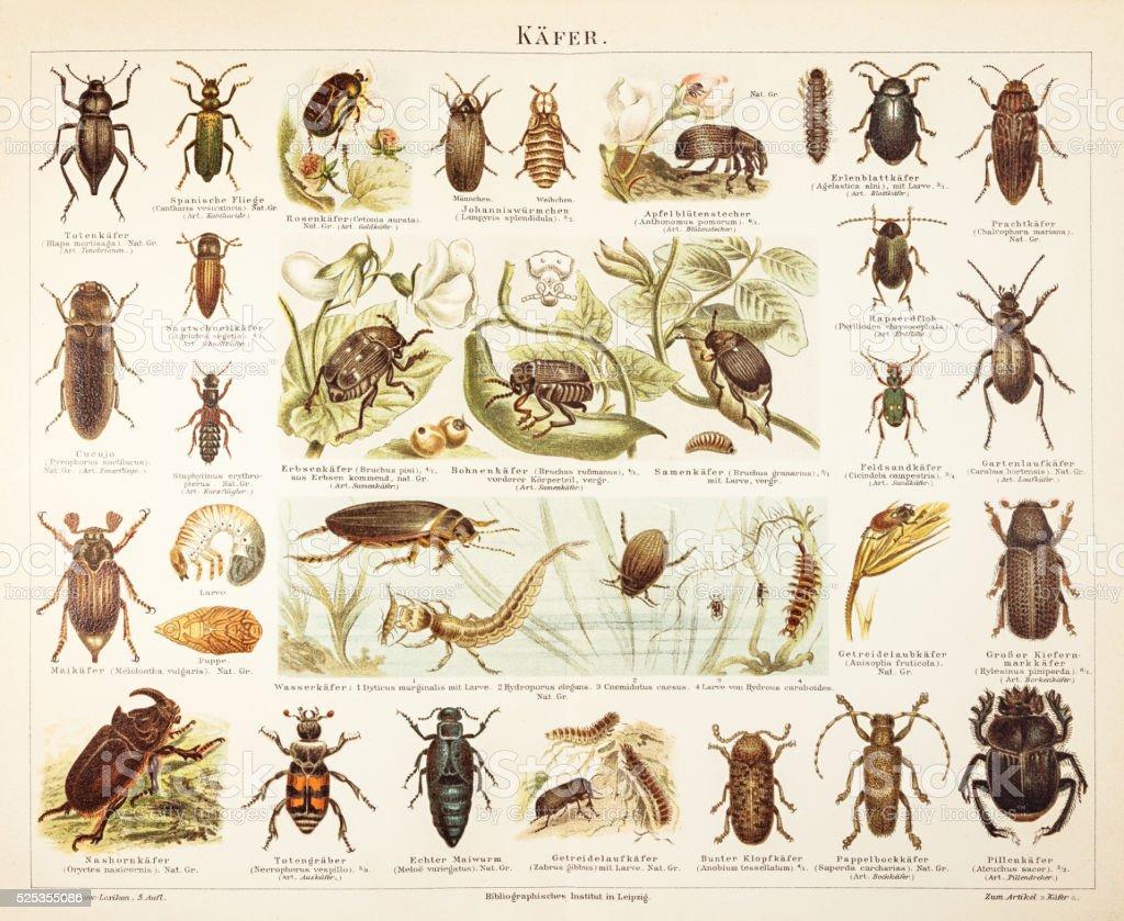 Beetles engraving 1895 stock photo