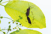Beetles have sex on green leaf.