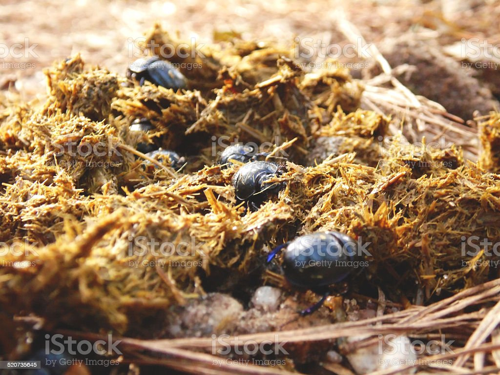 beetles in horse dung stock photo