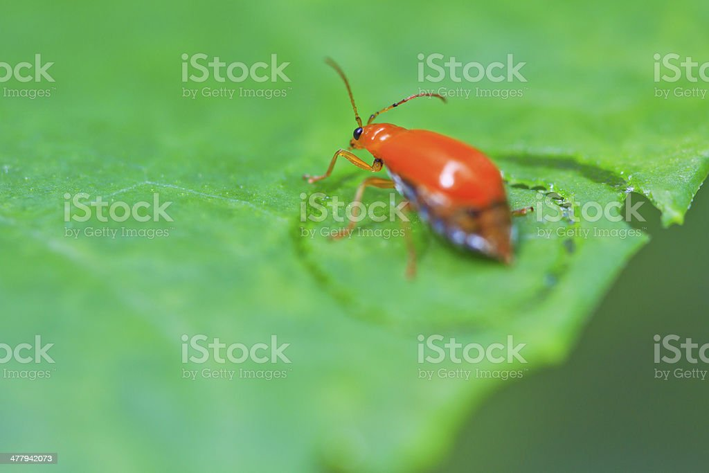 Beetles insects In tropical forests asia asian thailand royalty-free stock photo
