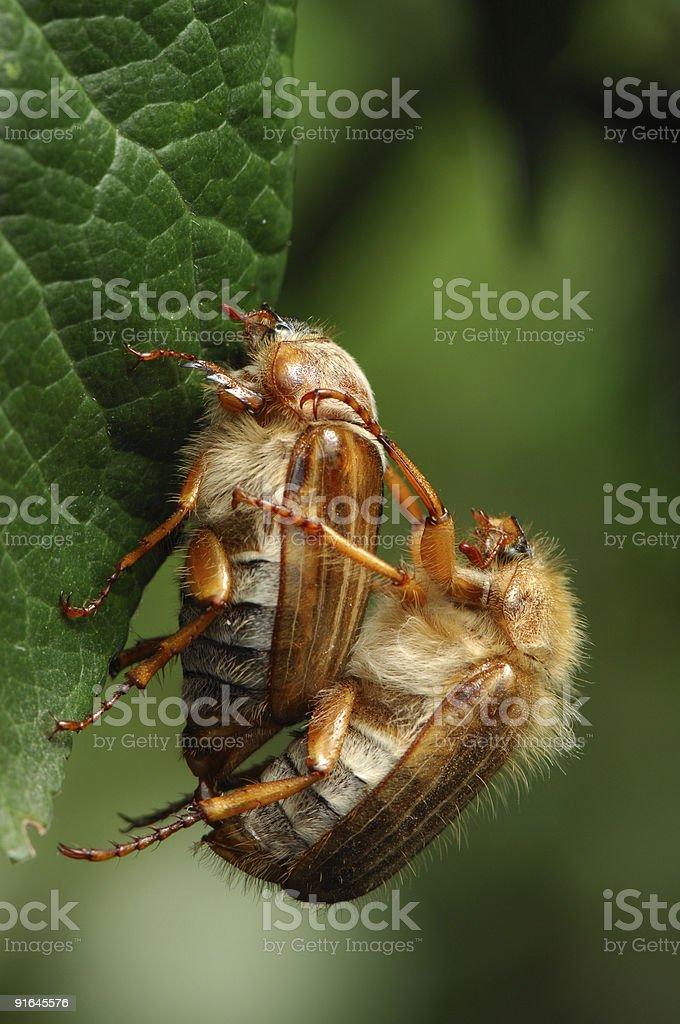 Beetle?s love stock photo