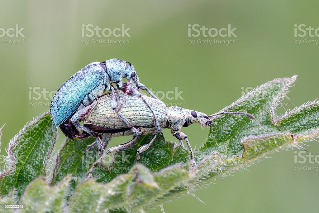Beetles mating on a nettle leaf stock photo