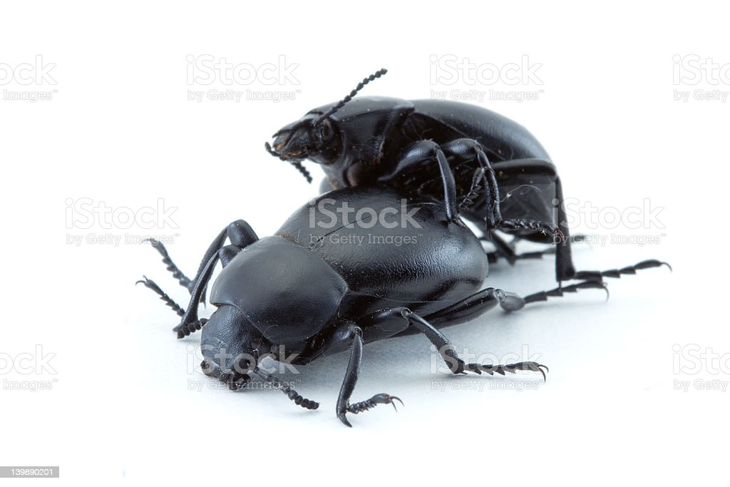 Beetles mating royalty-free stock photo