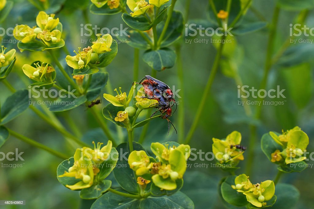 Beetles  occupied procreation . stock photo
