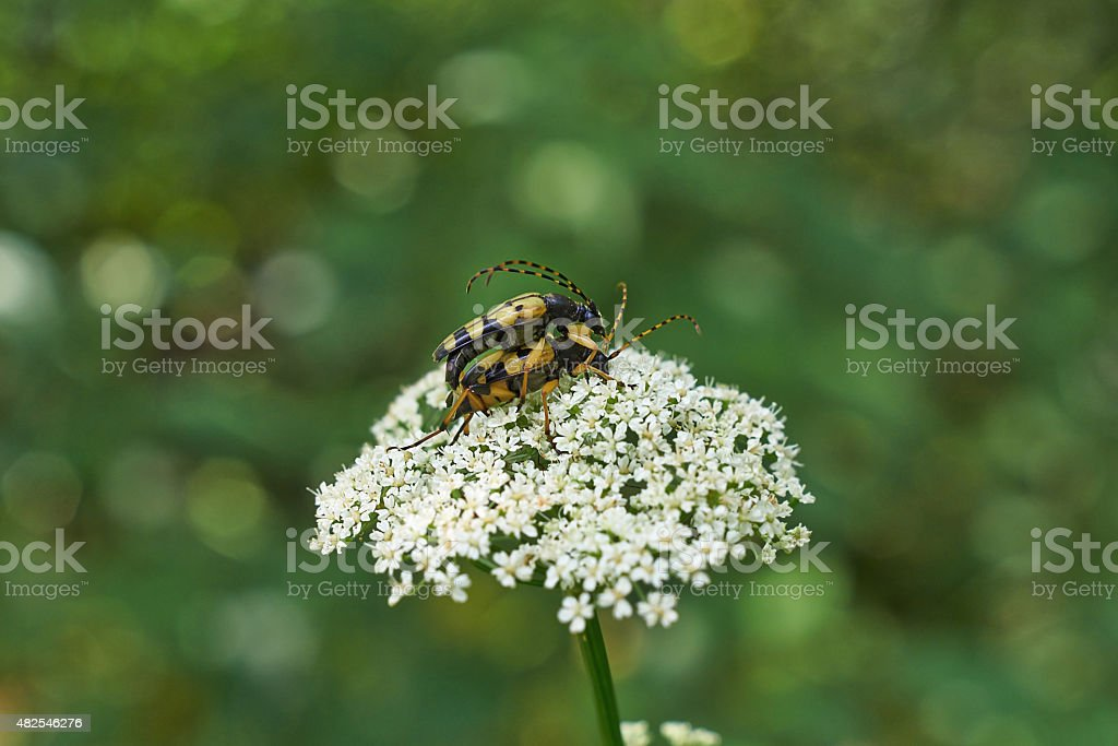 Beetles  occupied procreation. stock photo