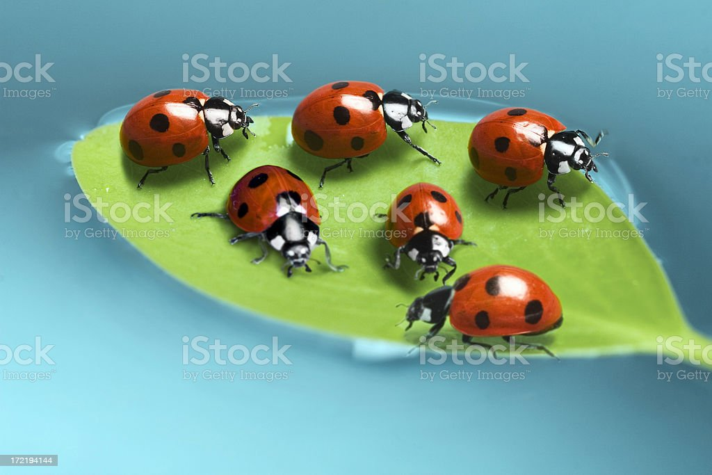 beetles on a floating leaf royalty-free stock photo