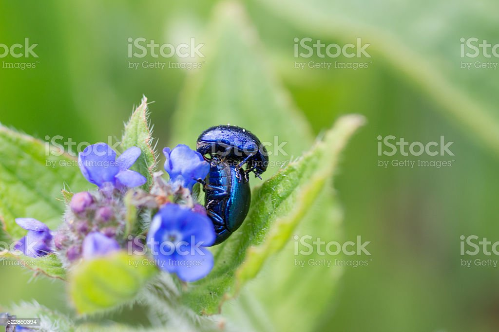 Beetles on lungwort (Pulmonaria officinalis) stock photo