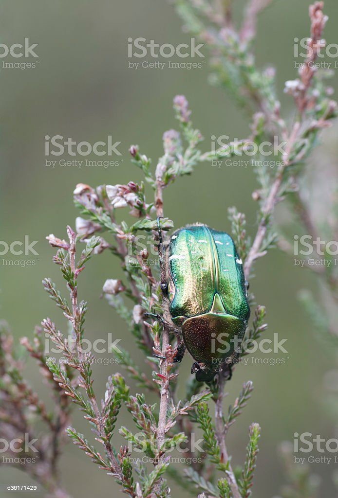 Beetles: Rose Chafer (Cetonia aurata) on Heather stock photo