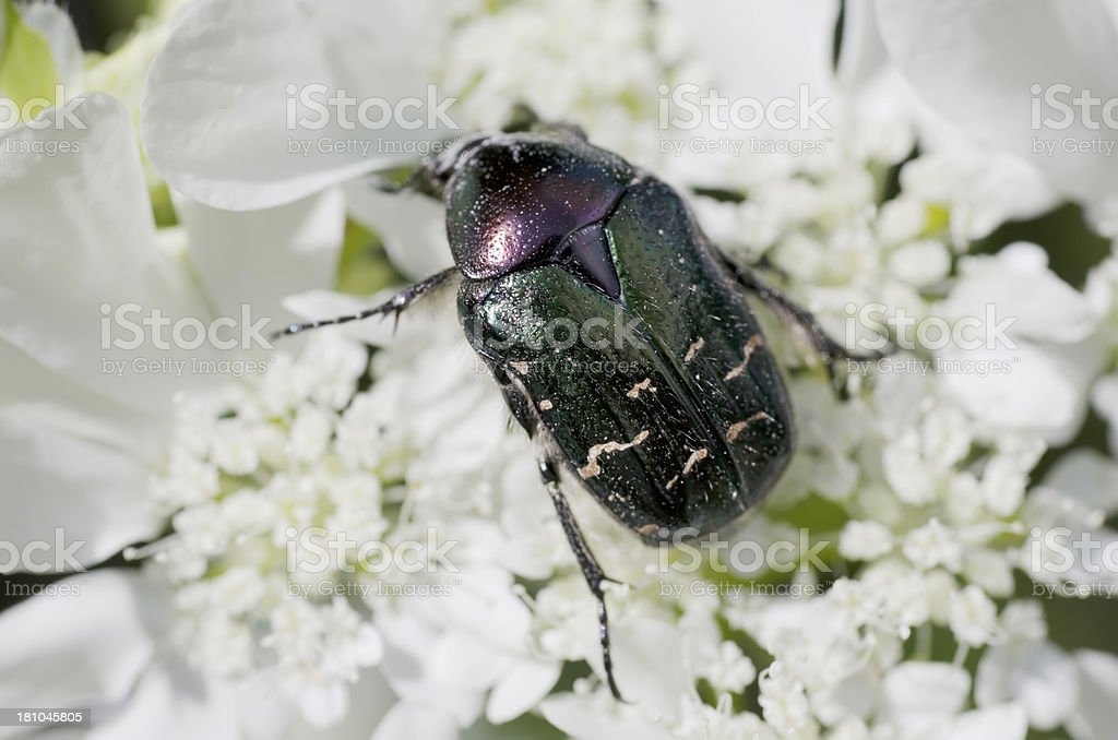 Beetles: Rose Chafer (Cetonia aurata) stock photo