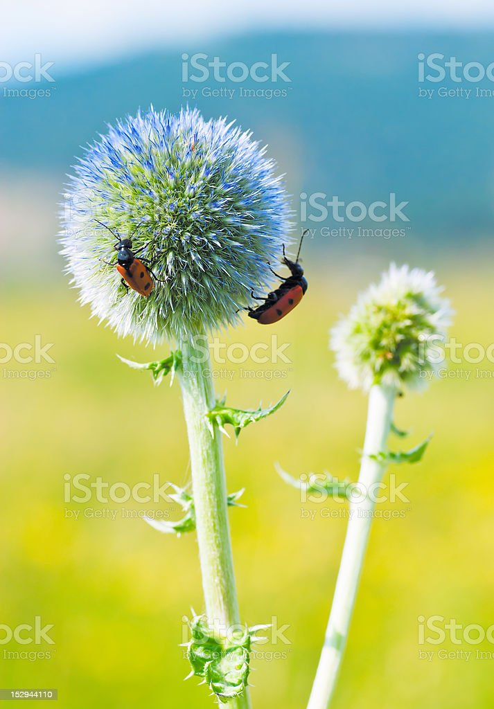 Beetles sitting on a blue flower royalty-free stock photo