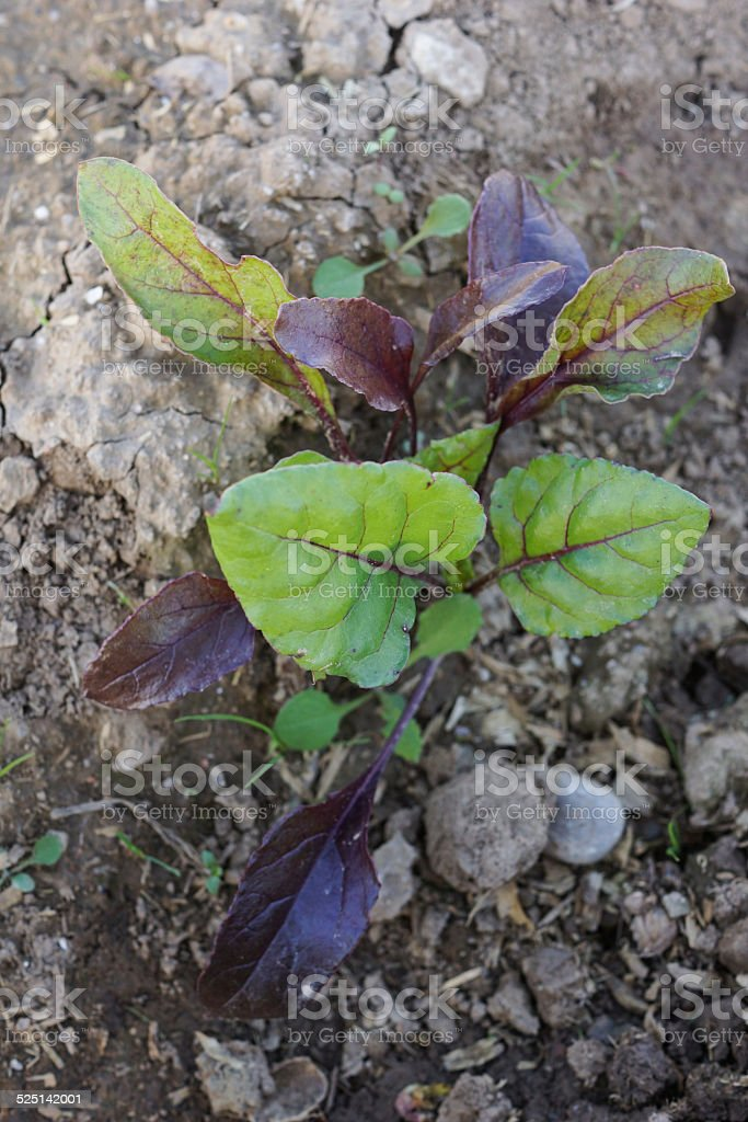 Beetroot, Beet plant stock photo