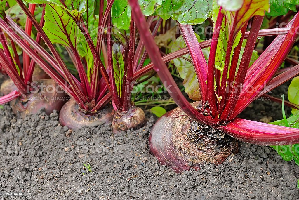 Beetroot in a vegetable garden stock photo