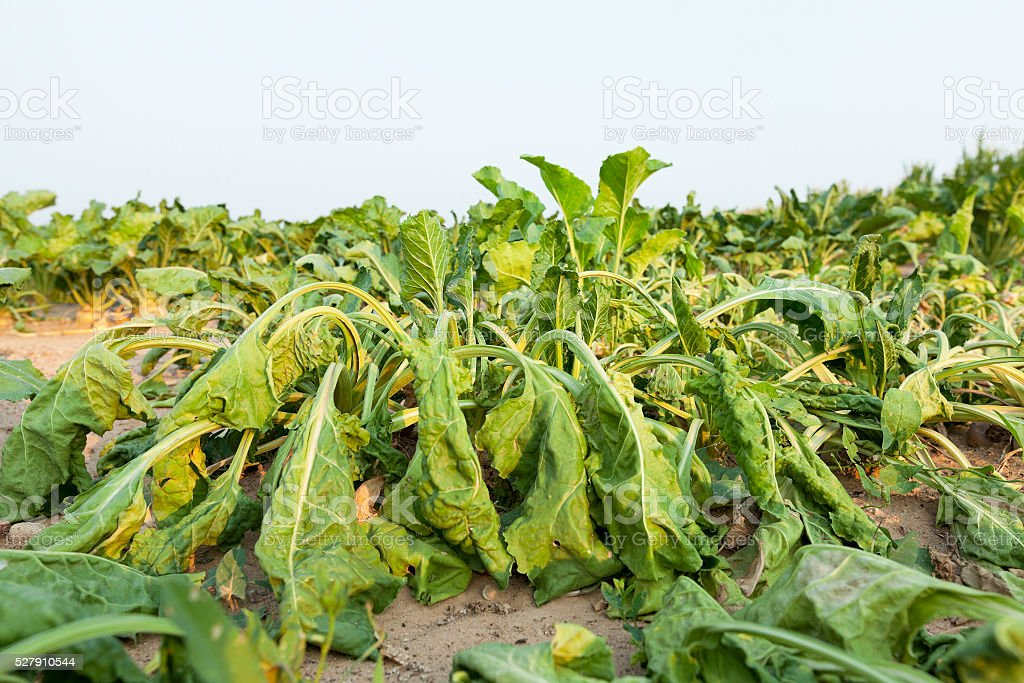 beetroot in field stock photo