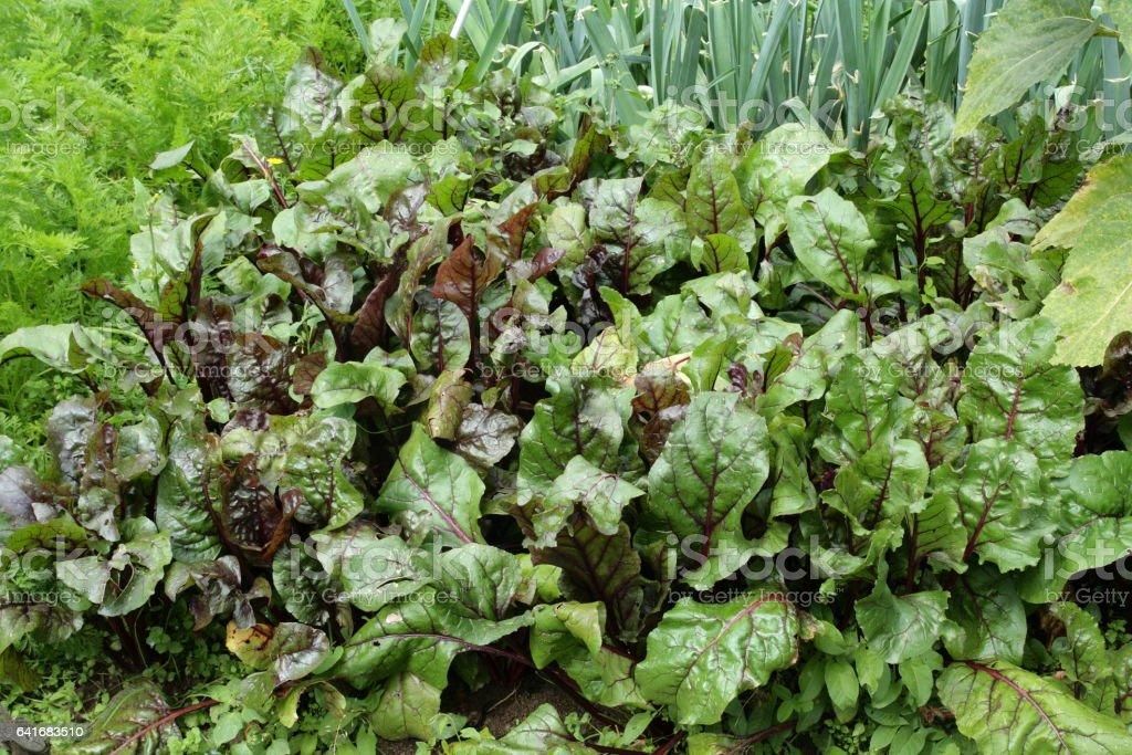 beetroot or red beet in vegetable garden stock photo