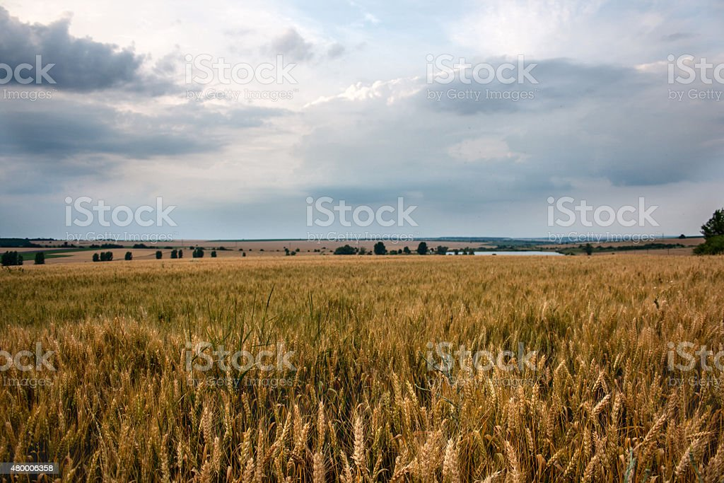 before harvest time stock photo