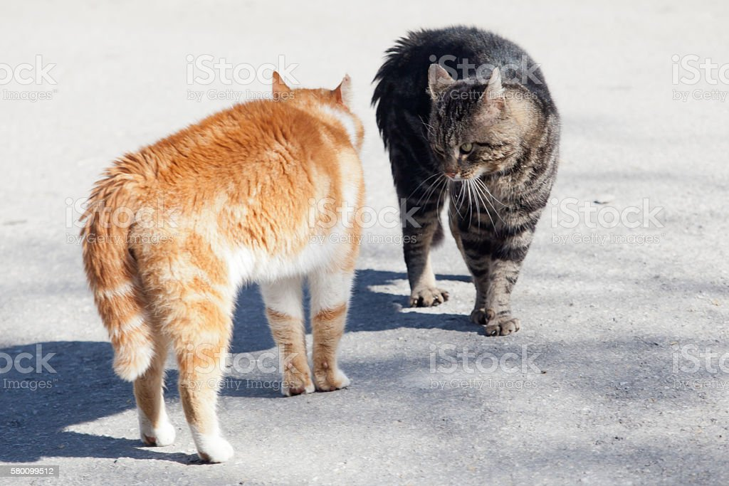 before the fight of red and grey cat stock photo