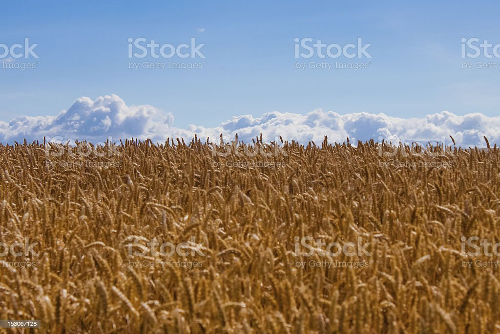 Before the Harvest stock photo