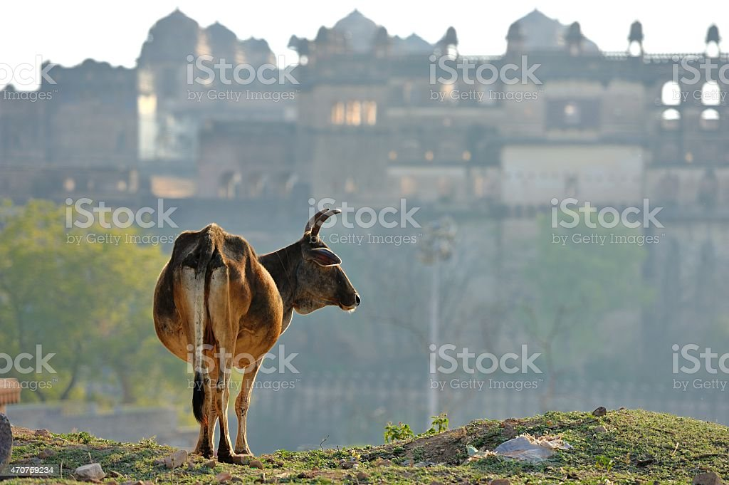 OX before the Orchha Palace stock photo