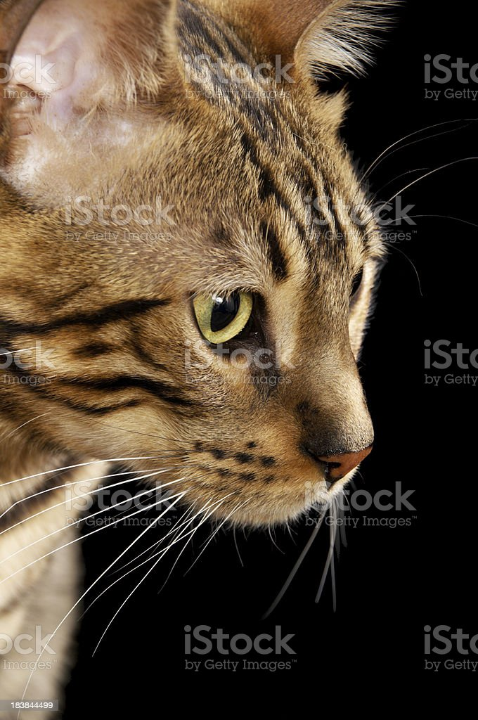 Begal cat focused on something to viewer's right. royalty-free stock photo