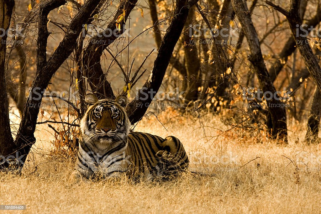 Begal tiger in a forest stock photo