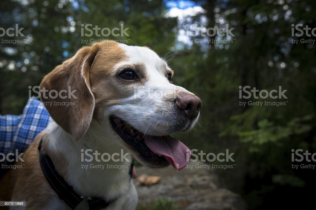 Begale dog on break after hike in the woods royalty-free stock photo