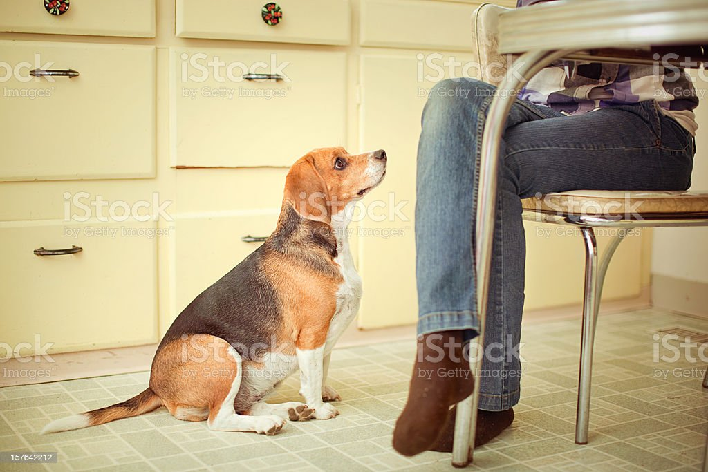 Begging Beagle At the Dinner Table stock photo