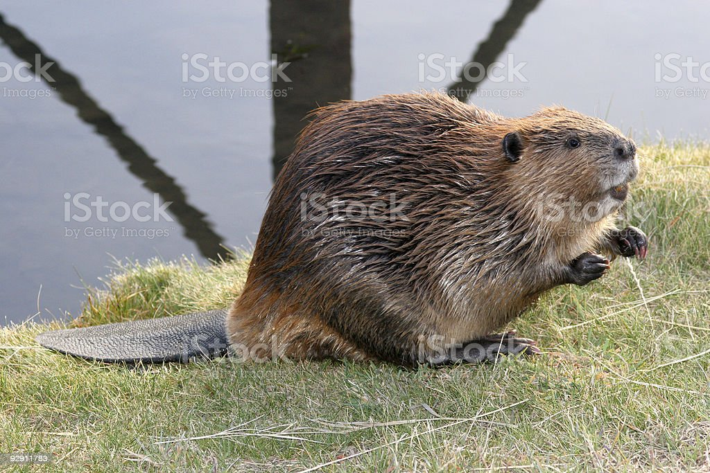 Begging Beaver stock photo